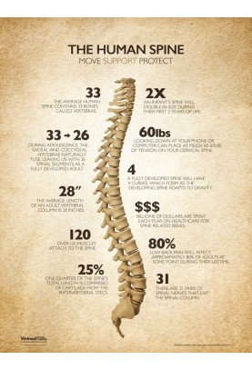 The Human Spine Poster - Natural
