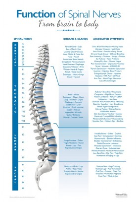 Function of Spinal Nerves Poster - Blue