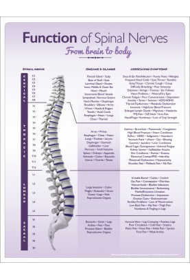 Function of Spinal Nerves Chiropractic Patient Handout