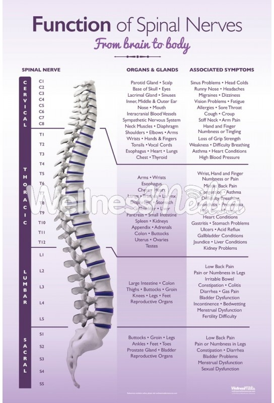 Function of Spinal Nerves Poster